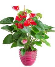 Planta Anturio Rojo