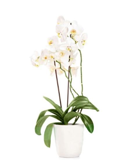 Orquidea blanca a domicilio